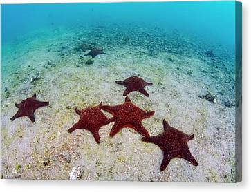 Panamic Cushion Star (pentaceraster Canvas Print by Pete Oxford