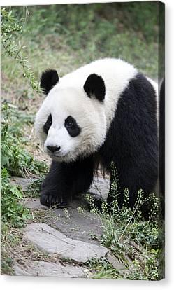 Panda Canvas Print by King Wu