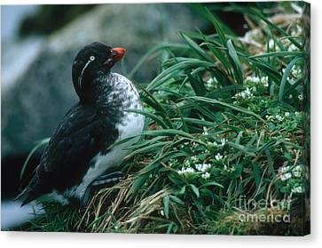 Parakeet Auklet Canvas Print by Art Wolfe