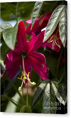 Passion Flower Passiflora Antioquiensis Canvas Print by Dr. Keith Wheeler