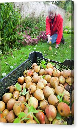 Pears Being Harvested To Make Perry Canvas Print by Ashley Cooper