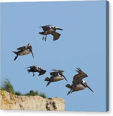 Pelicans In Flight 8 Canvas Print by Cathy Lindsey