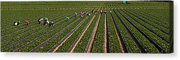 People Picking Strawberries In A Field Canvas Print by Panoramic Images