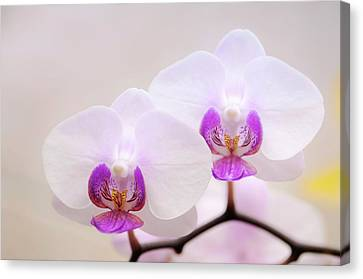 Phalaenopsis Orchid Flowers Canvas Print by Maria Mosolova