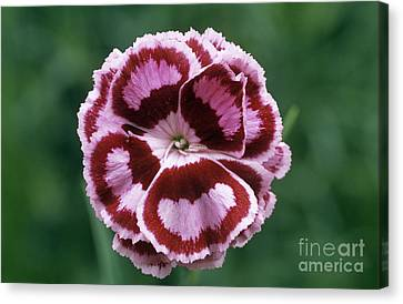 Pink Dianthus Becky Robinson Canvas Print by Archie Young