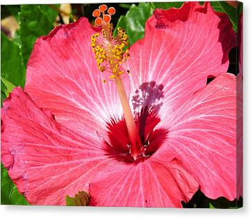 Pink Hibiscus Canvas Print by Zina Stromberg