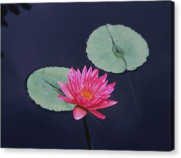 Pink Water Lily Two Pads Canvas Print by Tom Wurl