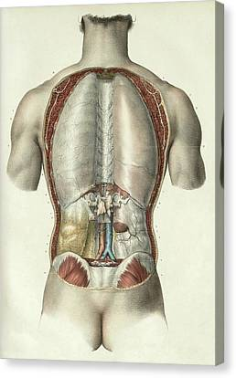 Pleura And Peritoneum Canvas Print by Science Photo Library