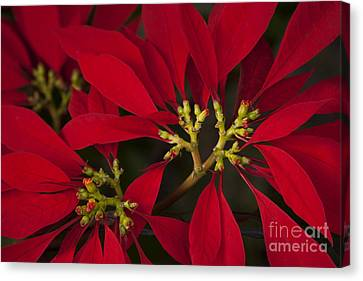 Poinsettia  - Euphorbia Pulcherrima Canvas Print by Sharon Mau