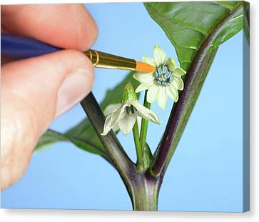 Pollination Of Carolina Reaper Chilli Canvas Print by Cordelia Molloy