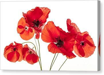 Poppy Flowers On White Canvas Print by Elena Elisseeva