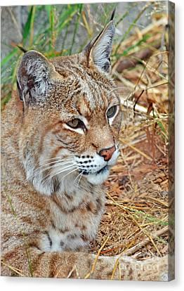 Portrait Of A Bobcat Canvas Print by Jim Fitzpatrick