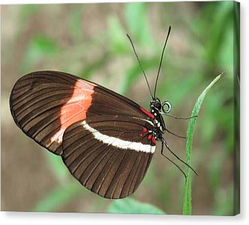 Postman Butterfly Canvas Print by David and Carol Kelly