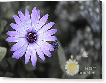 Purple Daisy Canvas Print by Design Windmill