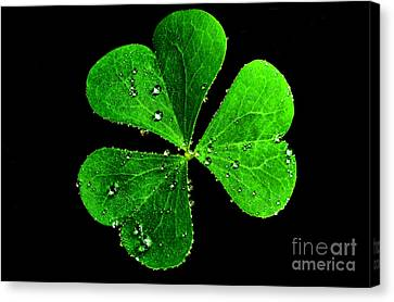 Raindrops On Shamrock Canvas Print by Thomas R Fletcher