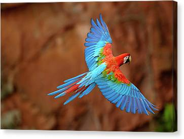 Red And Green Macaw Flying Canvas Print by Pete Oxford
