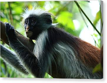 Red Colobus Monkey Canvas Print by Aidan Moran