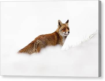 Red Fox In A White World Canvas Print by Roeselien Raimond