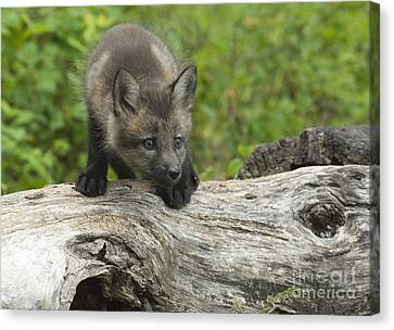Red Fox Kit Canvas Print by Sandra Bronstein