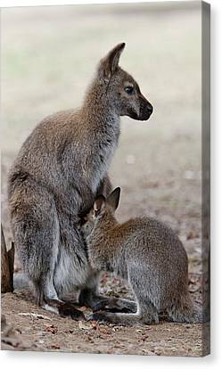 Red-necked Wallaby, Subspecies Canvas Print by Martin Zwick