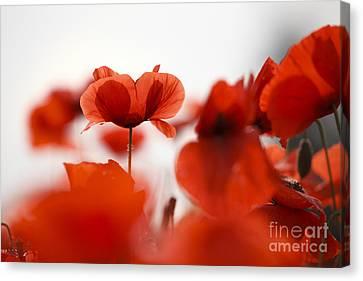 Red Poppy Flowers Canvas Print by Nailia Schwarz