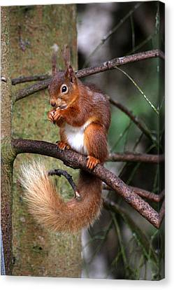 Red  Squirrel Canvas Print by Tom Gallacher