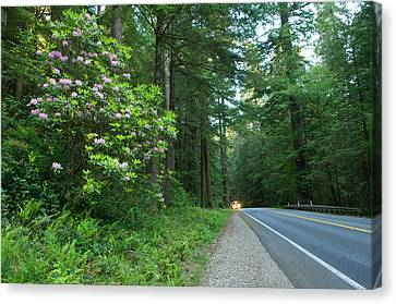 Redwood Trees And Rhododendron Flowers Canvas Print by Panoramic Images