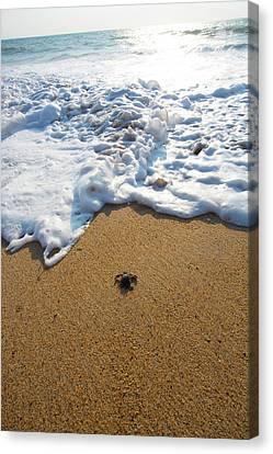 Releasing Green Sea Turtle, Hotelito Canvas Print by Douglas Peebles