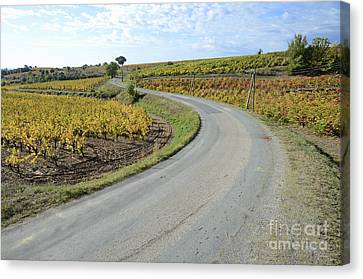 Road By Vineyards With Fall Foliage Canvas Print by Sami Sarkis