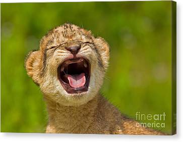 Roaring Practice Canvas Print by Ashley Vincent