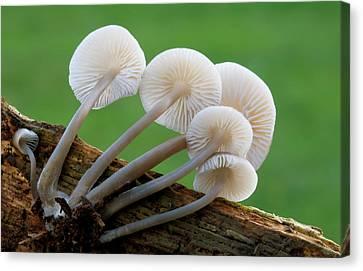 Rooting-bonnet-cap Fungus Canvas Print by Nigel Downer