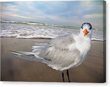 Royal Tern Canvas Print by Betsy C Knapp