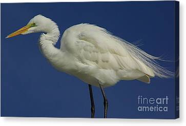 Ruffled Feathers Canvas Print by D Hackett