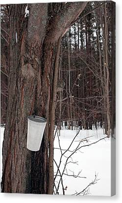 Sap Collection From Maple Tree Canvas Print by Jim West