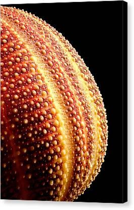 Sea Urchin Canvas Print by Jim Hughes