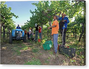 Seasonal Workers Harvesting Grapes Canvas Print by Tony Camacho
