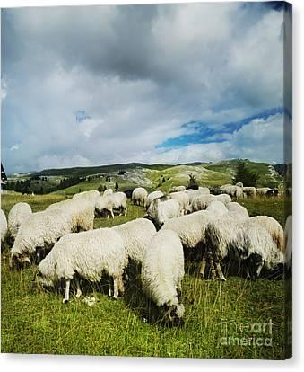 Sheep In The Field Canvas Print by Jelena Jovanovic