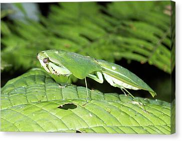 Shield Mantis Canvas Print by Dr Morley Read