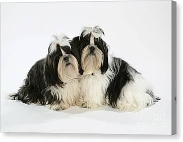 Shih-tzu Puppy Dogs Canvas Print by John Daniels
