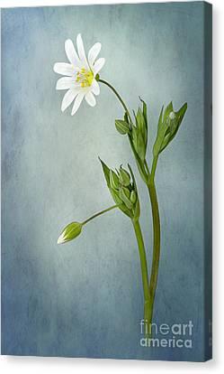 Simply Stitchwort Canvas Print by Jacky Parker