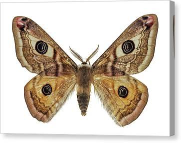 Small Emperor Moth Canvas Print by F. Martinez Clavel