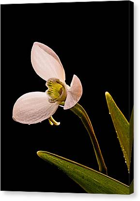 Snowdrop Canvas Print by Don Wolf