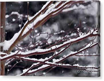 Snowfall And Tree Canvas Print by Elena Elisseeva