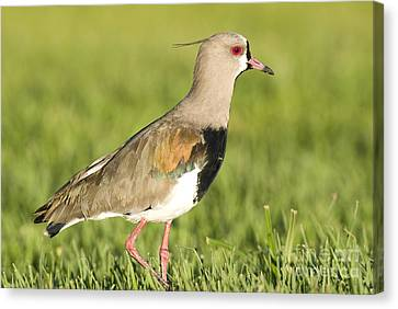 Southern Lapwing Canvas Print by William H. Mullins