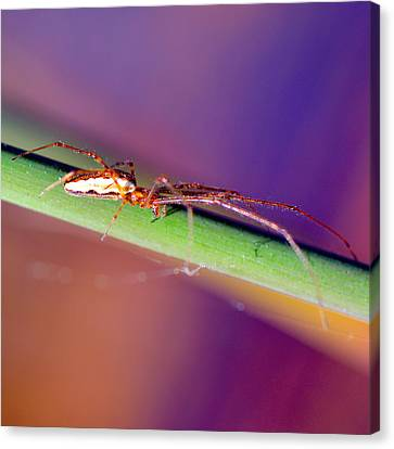 Spider In The Reeds Canvas Print by Toppart Sweden