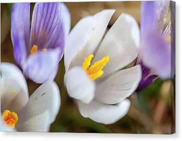 Spring Crocus (crocus Vernus Canvas Print by Martin Zwick