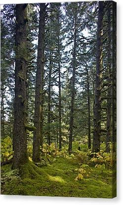 Spruce Tree Forest In Autumn, Kodiak Canvas Print by Kevin Smith