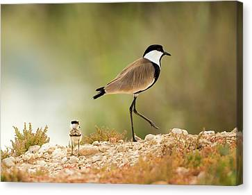 Spur-winged Lapwing Vanellus Spinosus Canvas Print by Photostock-israel