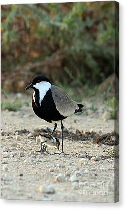 Spur-winged Plover And Chick Canvas Print by PhotoStock-Israel