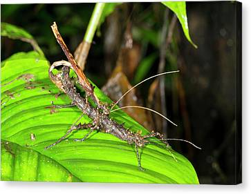 Stick Insects Mating Canvas Print by Dr Morley Read